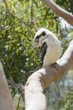 kookaburra Fotografie Stock Libere da Diritti
