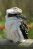 kookaburra zdjęcia stock
