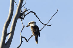 Kookaburra against blue sky Stock Photo