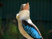 Kookaburra alato blu Immagine Stock Libera da Diritti