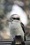 Kookaburra auf Stange lizenzfreies stockbild