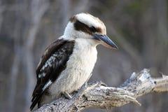 Kookaburra, Australia Royalty Free Stock Image