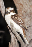 Kookaburra, Australia Stock Photos