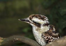 Kookaburra Stock Images