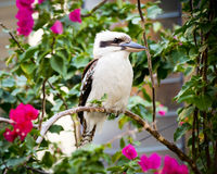 Kookaburra Royalty Free Stock Image