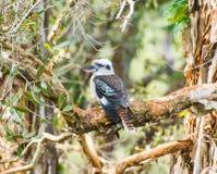 Kookaburra australiano Imagens de Stock