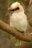 Kookaburra australiano fotografía de archivo libre de regalías