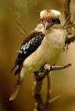 Kookaburra australiano Immagine Stock Libera da Diritti