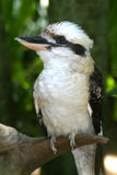 Kookaburra australiano fotografía de archivo