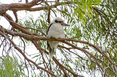 Kookaburra australiano Imagens de Stock Royalty Free