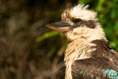 Kookaburra australiano foto de archivo