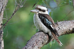 Kookaburra australien Photos stock