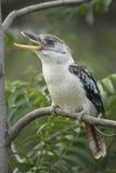 kookaburra Azul-con alas imagen de archivo libre de regalías
