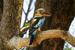 Kookaburra Azul-con alas imagenes de archivo