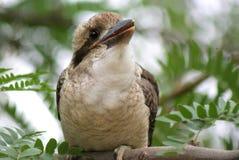 Kookaburra Baby. Kookaburras are terrestrial tree kingfishers of the genus Dacelo native to Australia and New Guinea, which grow to between 28–42 cm 11–17 in Stock Image