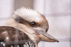 Kookaburra. Behind grid in the wild park Stock Image