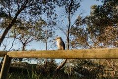 Kookaburra bij Kamp op Moreton-Eiland in Queensland Australië stock afbeeldingen