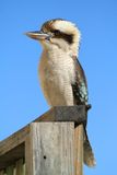 Kookaburra bird Stock Photos