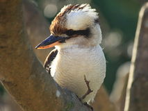 Kookaburra bird close-up Stock Images