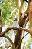 Kookaburra Bird In New South Wales Is A State Of Australia. Royalty Free Stock Photos
