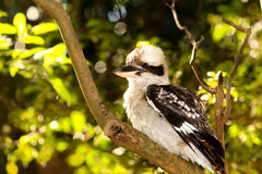 Kookaburra Bird Royalty Free Stock Image