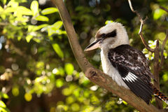 Kookaburra Bird Stock Photography