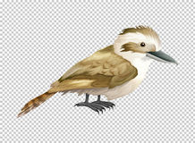 Kookaburra bird on transparent background Stock Images