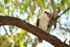 Kookaburra bird in tree  Stock Image