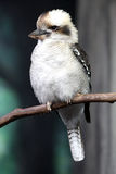 Kookaburra. Bird up close stock photos