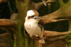 Kookaburra bird. Wildlife australia white wings beak birdlife branch sitting Royalty Free Stock Photo
