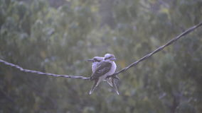 Kookaburra Birds On Wire Stock Photo