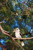 Kookaburra Royalty Free Stock Photography