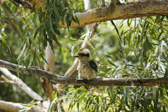 Kookaburra. Booderee National Park. NSW. Australia Royalty Free Stock Photo
