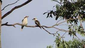 Kookaburra on Branch Royalty Free Stock Photography