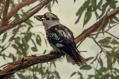 Kookaburra with bread in it`s beak. Perched on a branch Stock Images