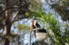 Kookaburra. Chatting kookaburras on a hot summer day at the campground of Coffs Harbour, NSW, Australia Stock Photos
