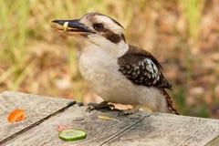 Kookaburra che ruba alimento in una foresta australiana fotografie stock