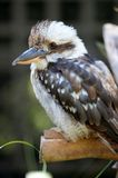 Kookaburra Stock Photos