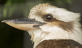 Kookaburra Royalty Free Stock Images