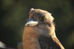 Kookaburra Closeup. Kookaburras are part of the kingfisher family, common in all areas of Australia stock photo