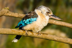 Kookaburra con alas azul imagen de archivo libre de regalías