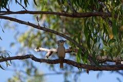 Kookaburra con alas azul encaramado en el árbol Foto de archivo