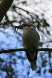 Kookaburra con el lagarto fotografía de archivo