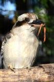 Kookaburra con la vite senza fine Immagini Stock Libere da Diritti