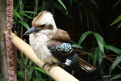 Kookaburra (Dacelo leachii) Royalty Free Stock Photography