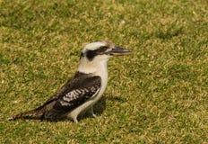 Kookaburra. (Dacelo novaeguineae) feeding on lawn in northern NSW Stock Photography