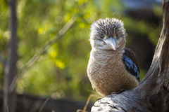 Kookaburra Dacelo novaeguineae Kingfisher Stock Photography