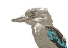 Kookaburra  Dacelo Novaeguineae Stock Photos
