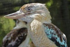 Kookaburra or  Dacelo Novaeguineae Stock Photography