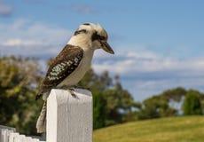 Kookaburra Stock Photos